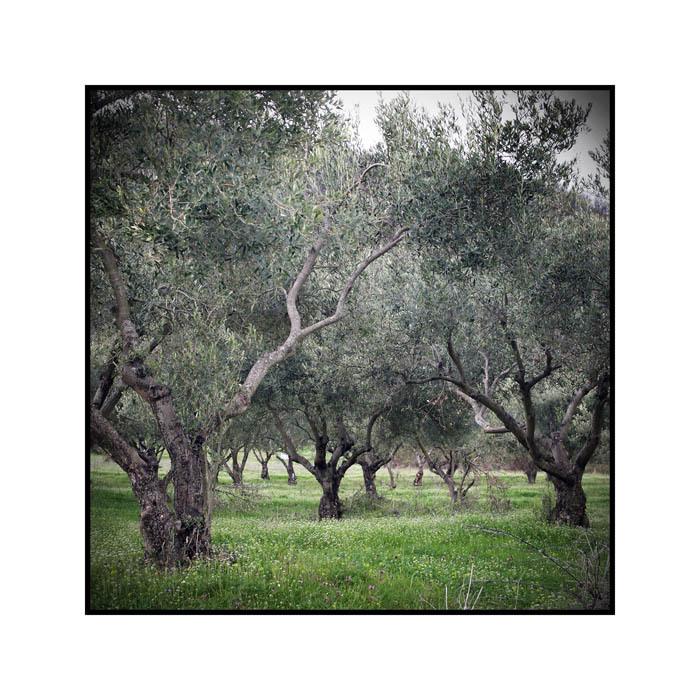 olive trees 1
