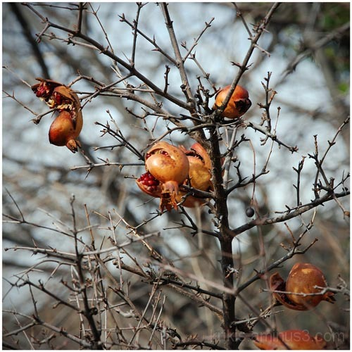 pomegranate (winter colors 1)