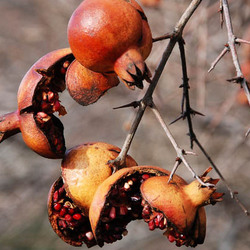pomegranate (winter colors 2)