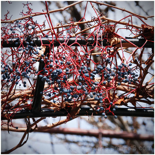 grapes (winter colors 4)