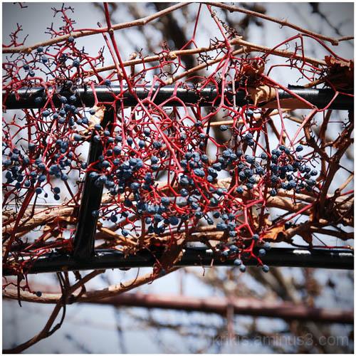 grapes (winter colors 4)