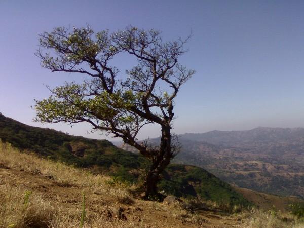 tree @ torana