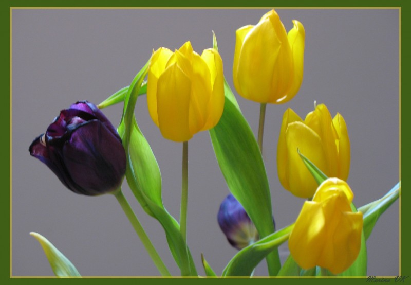 Tulips on March, 8 - the international women's day