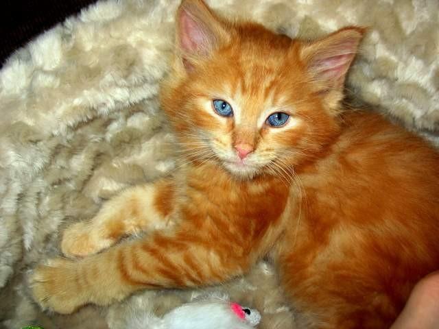 kitten, maine coon cat