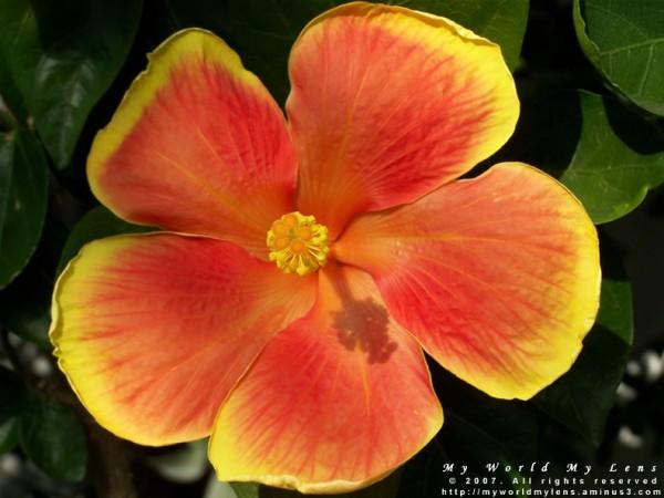 Radiant Hibiscus Flower