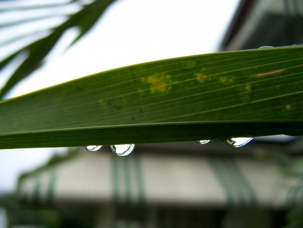 A closer look at a palm blade after the rain.