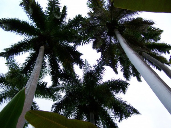 Palms towering overhead
