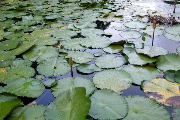 A Bed of Water Lillies