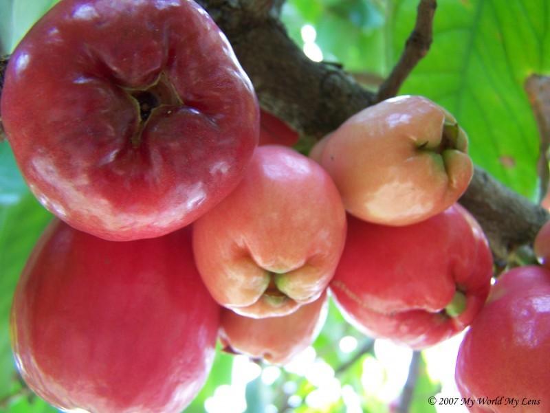 Otaheiti Apples