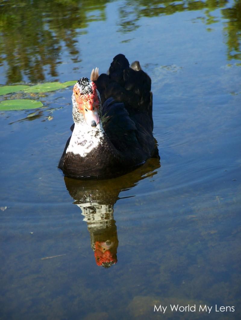 Florida Wildlife: A Duck