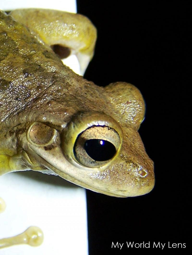 Florida Wildlife: Toad Closeup