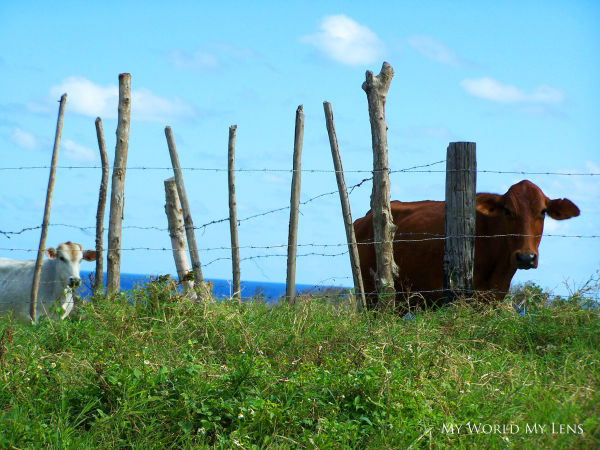 Grazing Behind the Fence