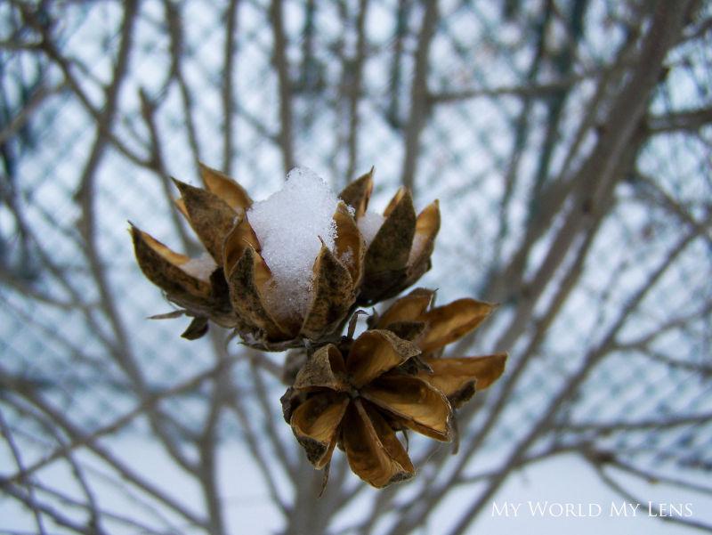 Snow Buds II