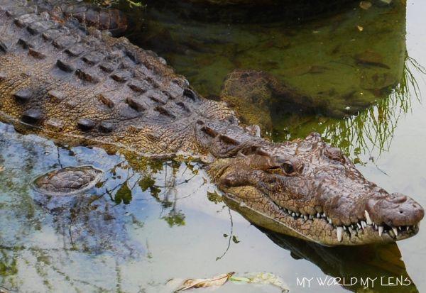 Hope Zoo: Crocodile