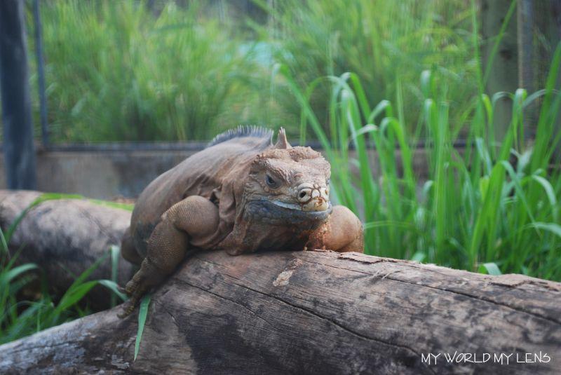 Hope Zoo: Iguana