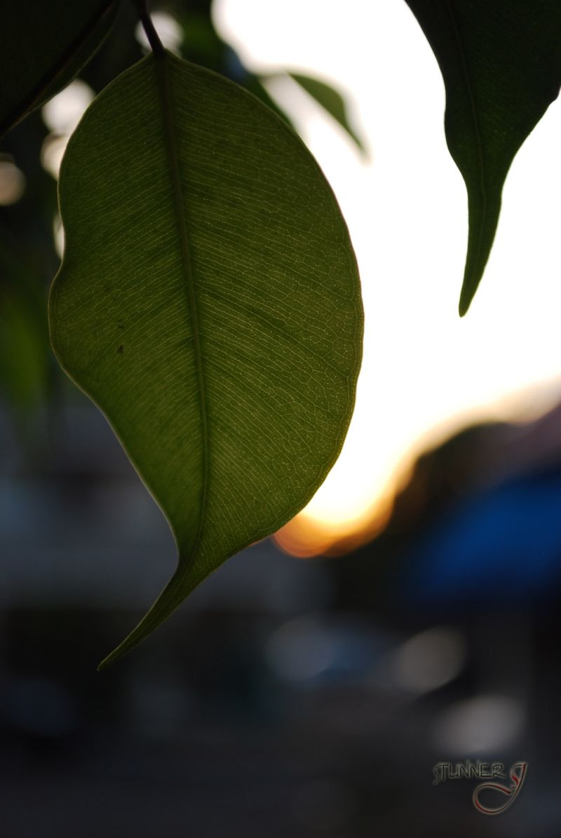 Leaf in the Twilight
