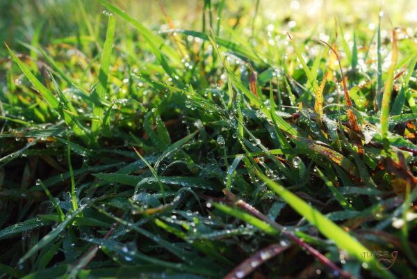 Grass Pearls