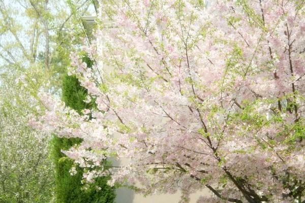 If Monet drew cherry blossom