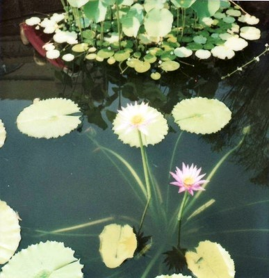 The pond and flower