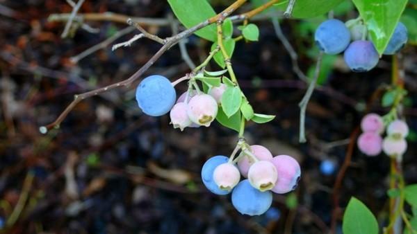 Rainbow of blueberry