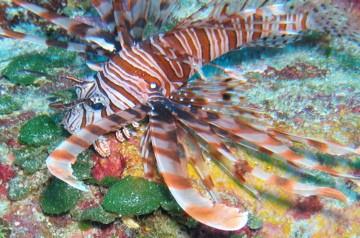 Lionfish, Palau
