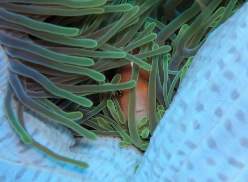 Shy anemonefish, Palau