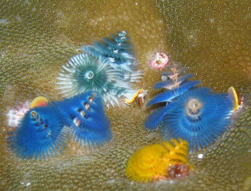 Christmas tree worms, Palau