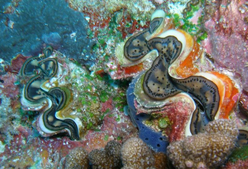 Twin tridacnas, Palau