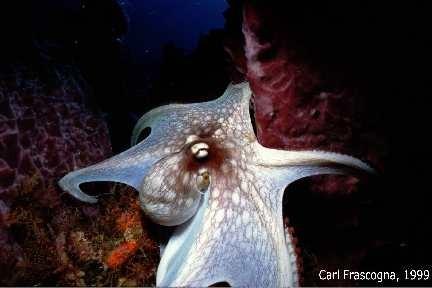 Octopus, Tobago