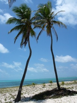 Kissing palms, Half Moon Cay, Belize