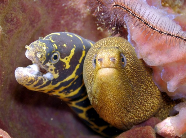 Chain and Golden moray eels