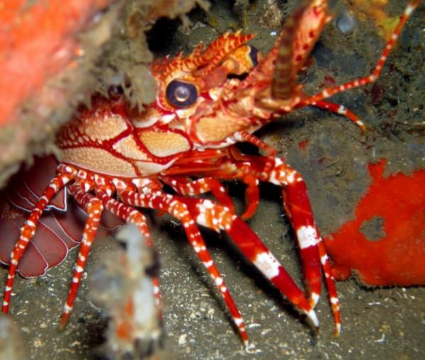 Red Banded Lobster