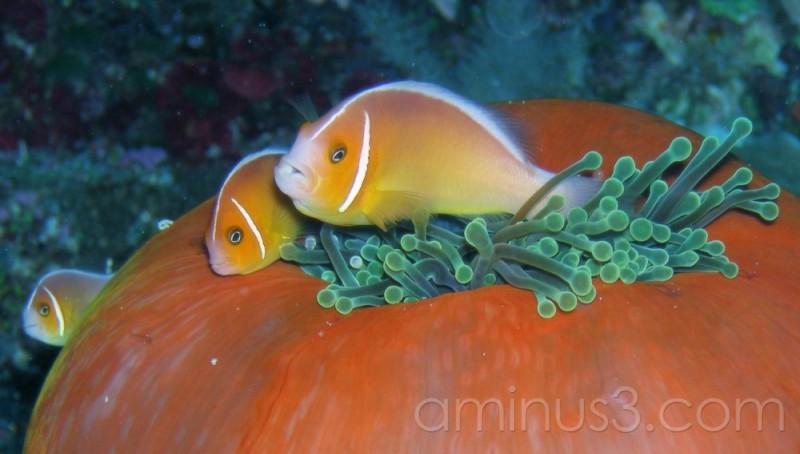 anemonefish, clownfish, Palau