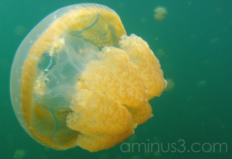 jellyfish,, jellyfish lake, Palau