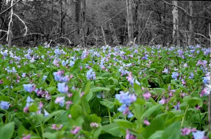 Bluebells, Four Mile Creek, Oxford Ohio