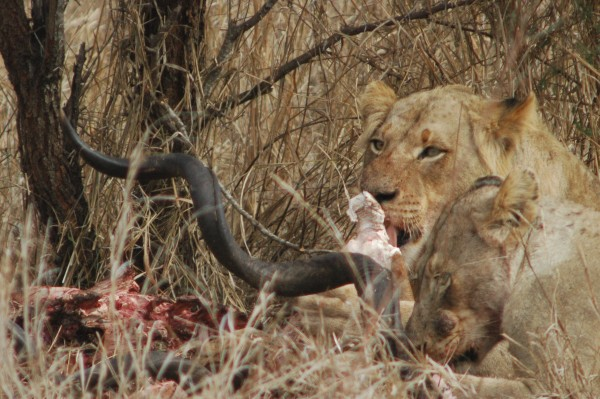 Kreuger National Park Kill