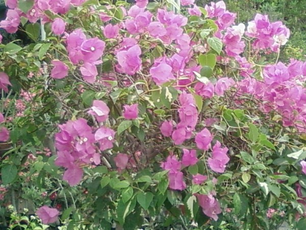 violet flowers ...