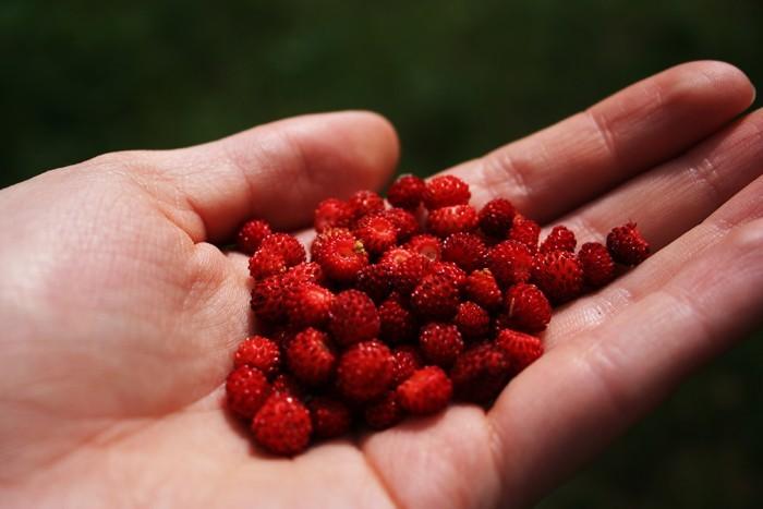 Russia: wild strawberries