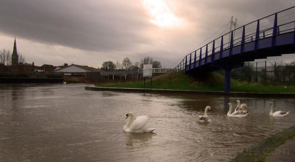 Swans in Stormy Weather
