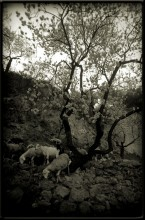 Goats, Rocks & Almond Trees