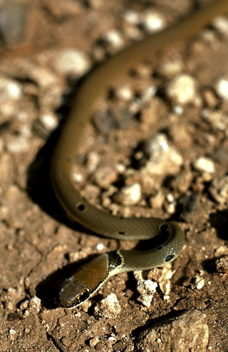 Dahls Whip Snake