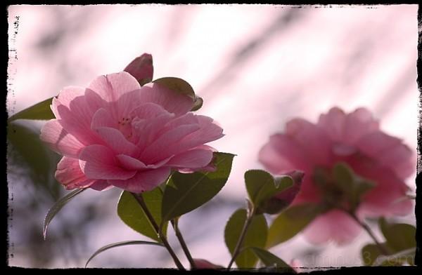 pinkier roses