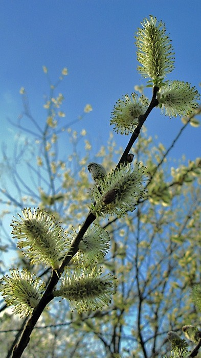 Pussy Willow