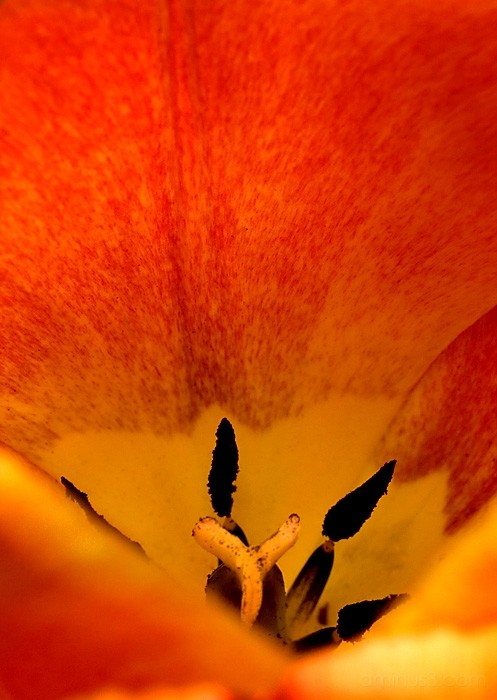 Orange tulip Close Up