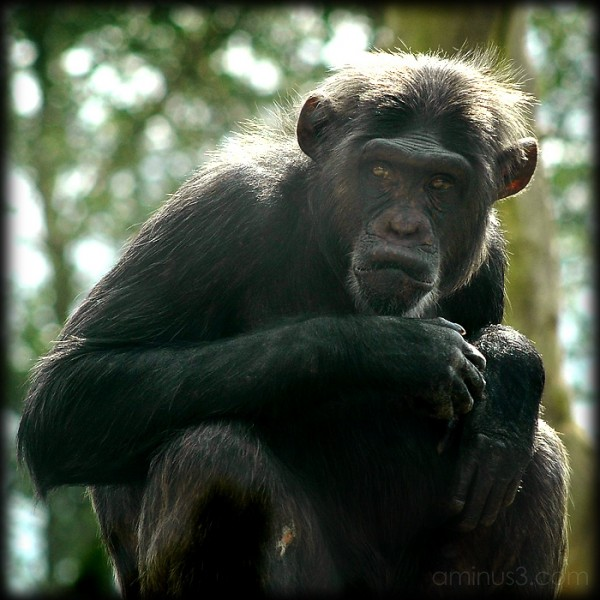 Chimp Business