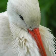 Orange Beak ...