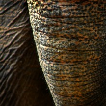 Elephant Parts (Snake Skin trunk)
