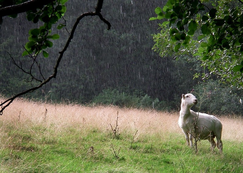 A Sheep in the Rain