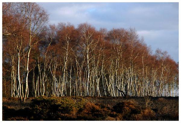 silver birches at Stanton Moor
