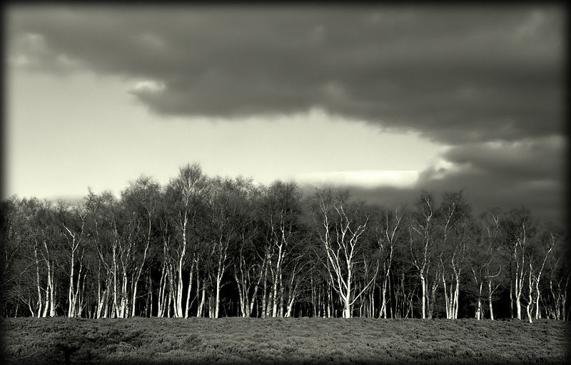 Silver Birches at Stanton Moor